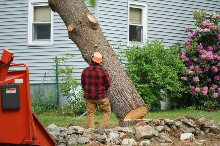 Do Pine Trees Grow Back if you Cut Them Down? - iCharts